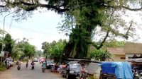 Pohon randu alas yang menjulang di pinggir jalan Desa Petekayan, Kecamatan Tahunan, Jepara