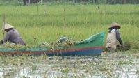 Petani memanen padi menggunakan perahu kecil
